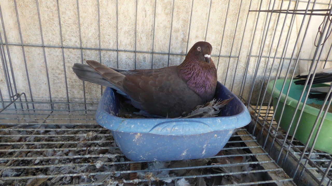 Images of Pensom Roller Pigeons For Sale - #rock-cafe