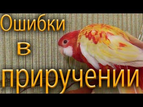Попугай розелла. Что может усложнить приручение. Ошибки, трудности в приручении попугаев.