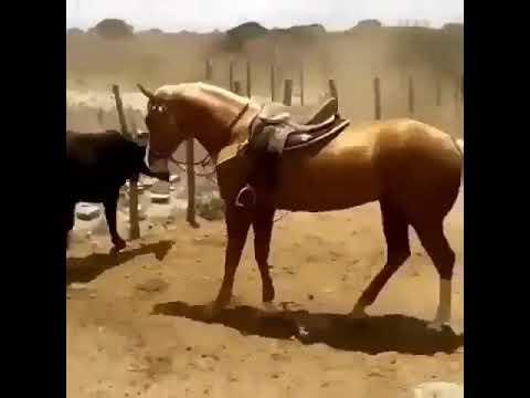Умная пастушья лошадь помогает загонять скот