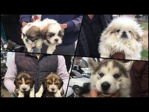 Whole Sale Dog Market At Patiala Dog Show 17th February 2019( Price And Contact Details)