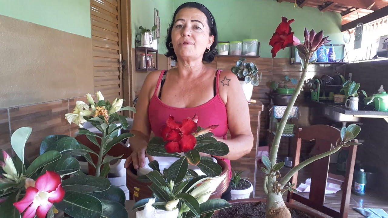 Comprinhas de Rosa do Deserto e vasos lindos