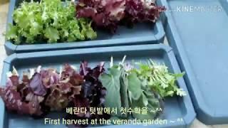베란다 텃밭 첫수확을 ~^^ First harvest …