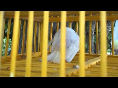 นกกรงหัวจุกสีขาวทั้งตัว จ.น่าน