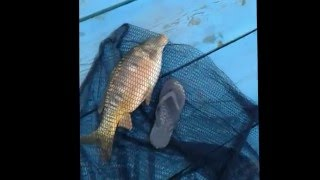 Карп  весной на червя, вес 2,7 кг. Рыбалка 23/04/2016