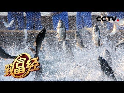 《致富经》 七年布局只为卖鱼 一年净赚1.3亿 20190816 | CCTV农业