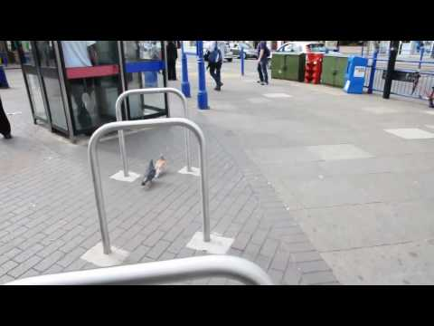 2 pigeons in Southgate, London