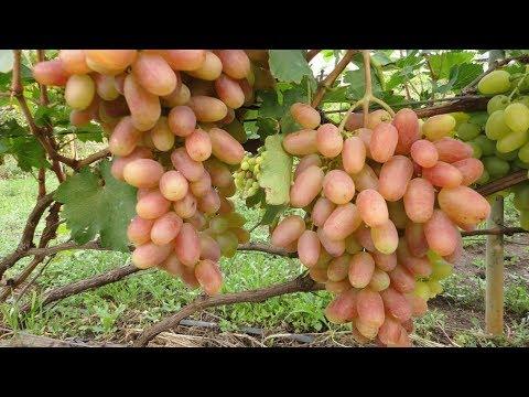 Интересный способ выращивания крупноплодного винограда  Сорт Преображение – Дамские пальчики
