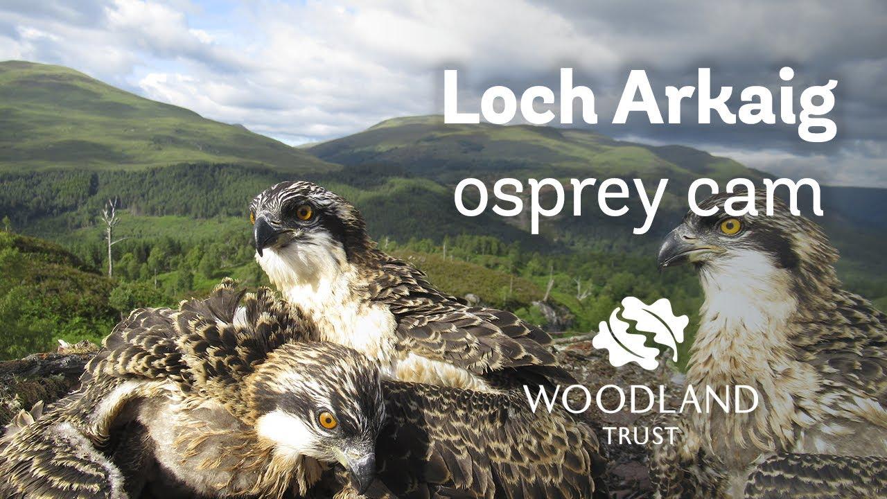 Arkaig osprey chicks enjoy fish after being ringed - Loch Arkaig Osprey Cam (2020)