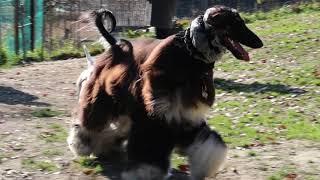 Mブルテリア:愛犬ハチ(♂、2才5か月) アフガン・ハウンド:ジヨン君(...