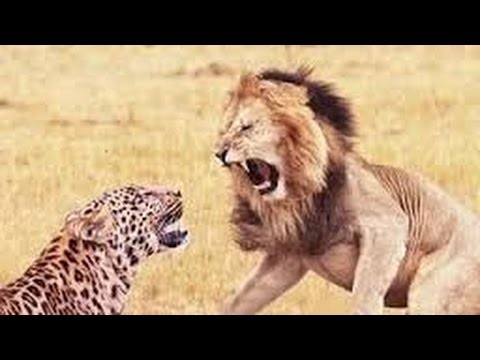 Lion Documentary  LETHAL CRASH Lion VS Hyena Collection of Best Attacks HD 2016