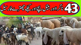 Nagra Beetal Goat Farming in P…