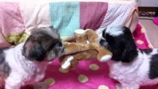 愛犬デニスとケリーの綱引きです。