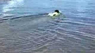 Rylie The Standard Schnauzer Swimming