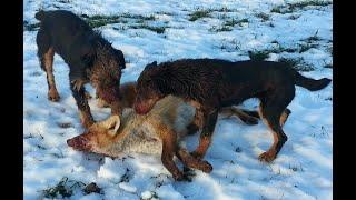 Охота с собаками. Часть 7. Охота с ягдтерьером.