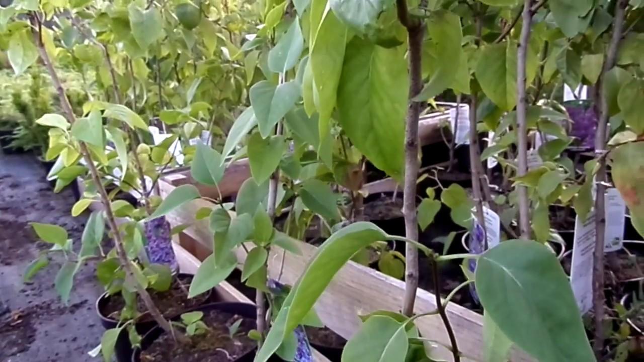 Большой ассортимент хвойных деревьев и кустарников. Лучшие сорта туи, можжевельника, ели, сосны, тсуги. Возраст саженцев от 1-5 лет. Все растения в горшках. Гарантия сортности и приживаемости. Доставка по украине.