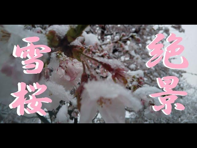 『雪桜』 2020年3月29日 東京某所 春のお花見季節に雪が降ったよ!
