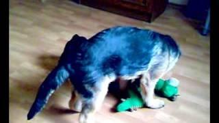 4 Months German Shepherd Vs French Bulldog