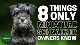 8 Things Only Miniature Schnauzer Dog Owners Understand