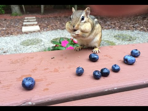 All About Riblet - Episode 4 - Hand feeding chipmunks blueberries