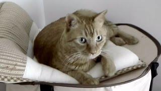 皆さん、お願いします!飼い主(里親)募集・茶トラ&白サバの可愛い猫さん(代理です) thumbnail