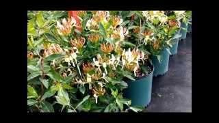 Best Flowering Vines, Lonicera Sweet Tea (Honeysuckle)