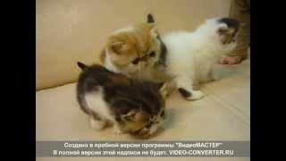 экзоты коты КШ, питомник Zanzarah