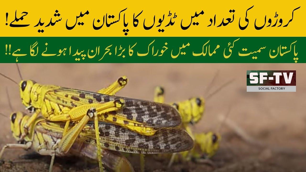Locusts infestation | Plague of locusts are devouring ...