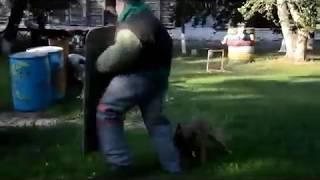 Бельгийская овчарка (малинуа) Лиана  задержание через огонь и щит(, 2015-07-14T16:57:01.000Z)