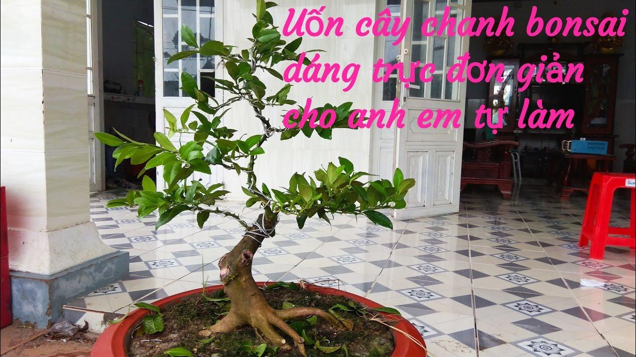 Uốn cây chanh bonsai dáng trực ai cũng làm được