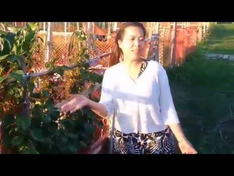 Khmer Toronto - Garden ជួបជាមួយអ្នកដាំបន្លែ- My neighbourhood Community Garden in Toronto