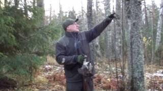 Охота на рябчика с манком и Курцхааром