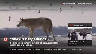 В Тюменской области собака не покидает место гибели своего хозяина