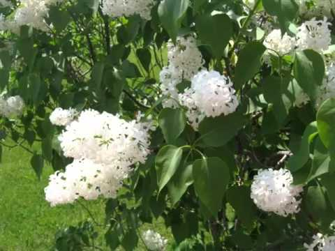 White Lilac Tree Image Collection Of Folwers Color