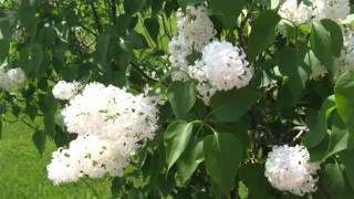 White Lilac Tree | Image Collection Of Folwers Of White Color