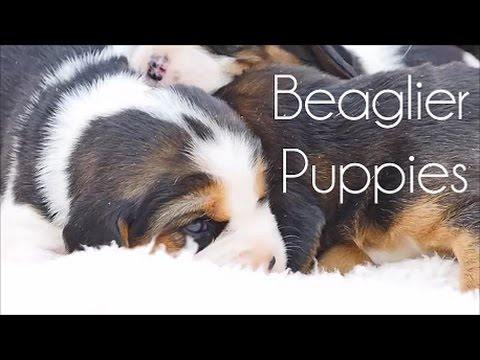 Beaglier Puppies June 2016