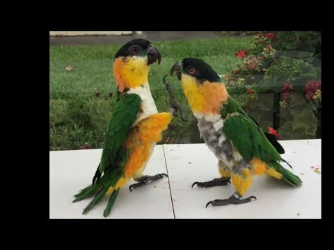 A Very Over Excited Caique Parrot!