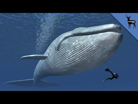 Why Are Whales So Big?