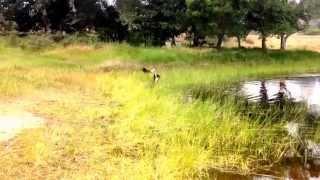 Rottweiler Mix Vs. German Shepherd Lab Mix