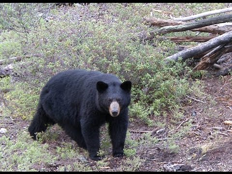 Monster Black Bear With Bow