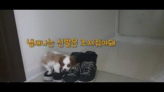 [2개월 강아지] 아빠냄새를 못참는 강아지