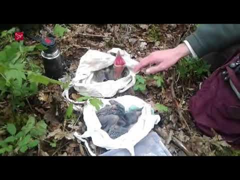 Raven hebben nest met kuikens in Kuinderbos