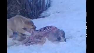 как так можно издеваться над животными. Собака от голоду ест другую собаку