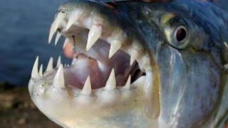 Top 10 Most Dangerous Freshwater fish