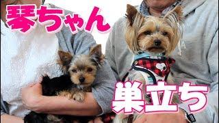 【ヨークシャーテリア専門犬舎チャオカーネ】 1月18日生まれの『琴ちゃ...