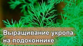 видео Укроп на подоконнике: как выращивать