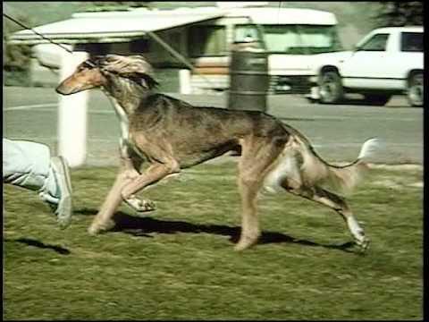 Saluki - AKC Dog Breed Series