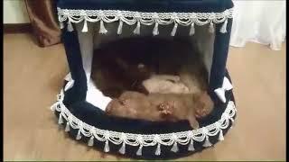 Маленькие сони! Британские котята шоколадные и лиловый окрасы.