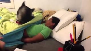 Собака защищает хозяина(Не дает разбудить хозяина. Друзья подписывамся на канал, обещаем много новых и интересных видео., 2016-04-26T11:32:45.000Z)