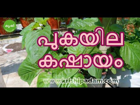 pukayila kashayam benefits, Making and usage – പുകയില