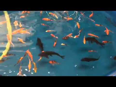 Black koi fish for sale youtube for Koi for sale